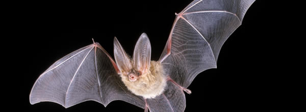 como é ser um morcego